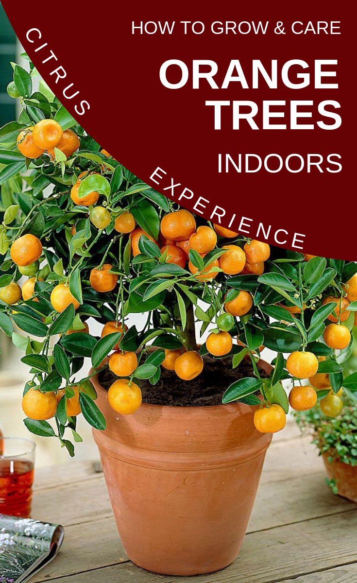 Citrus Experience How To Grow And Care Orange Trees Indoors